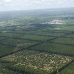плантации макадамии