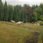 Animais - ovelhas