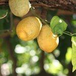 In de tuin groeien citroenen voor de zelfgemaakte limoncello