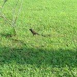 The funniest bird ever seen in Yangon@Inya Lake Hotel Garden