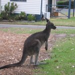Roos come into the campground