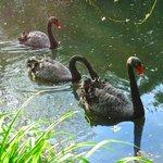 Black swans on the small lake