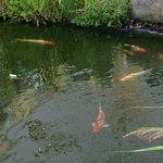 Koi Teich neben der Außenterrasse