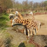 The giraffes at diner time