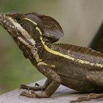 Striped  Basilisk Lizard
