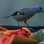 Yellow - winged Tanager