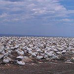 gannets colony on top of cape kidnappers