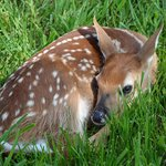 Spring 2014 - The First Fawn of the Season