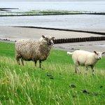 Schafe, nix als Schafe