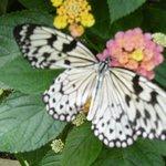 Trés beau papillon