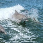 Dolphins LOVE jumping in Thundercats waves!