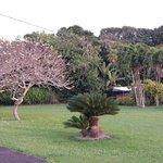 The Plumeria tree on their property