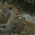 Leopard at Safari