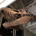 T- Rex skull