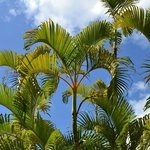 palmiers à la piscine