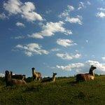 The llamas!