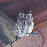 Western Screech-owl under eaves of Inn
