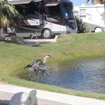 Wildlife on the Pond at Gulf Waters RV