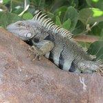 Iguanas por doquier