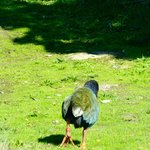 Takahe waddling away...