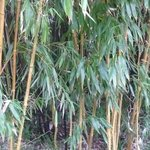 aggh some bamboo