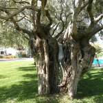 de oude olijfbomen