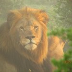 Male Lion on a misty morning