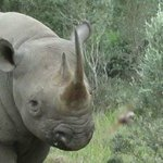 Curious Black Rhino