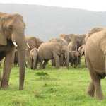 Elephants on the plain