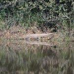 Little croc
