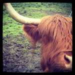 The Hairy Coo...