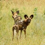 Wild dogs seen on a previous visit
