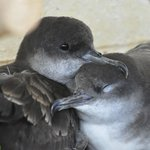 wedge tailed shearwaters nesting