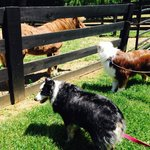 dogs looking at ponies