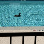 The Marriott Mascot taking his morning swim
