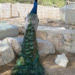 Beautiful castle peacock