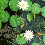 Lovely lotus flowers