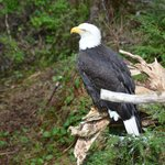Bald eagles up close and personal
