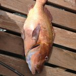 The Snapper I caught