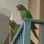 Parrots on Balcony