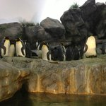 Emperor Penguins in the Penguin house