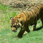 Tigerrrrrs