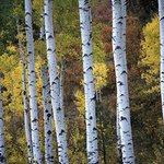 aspen trees in the fall beautiful