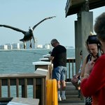 The resident pelican, pretty casual about photo ops
