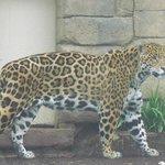 Awesome Jaguar