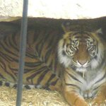 Tiger trying tto keep himself cool