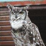 serious owl