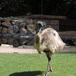 Ostrich at Kangaroo farm