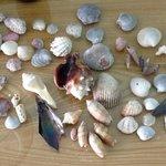 The gulfs bounty of shells