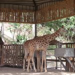 one year old Giraffs